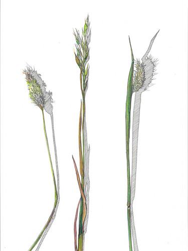 Meadow Grasses 600 dpi May 2020.jpg