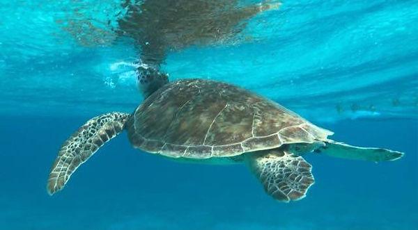 Wasserschildkröte in den Tobago Cays