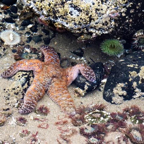 Starfish and Anemones