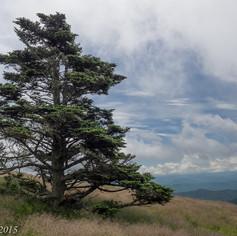 Roan Mountain Evergreen