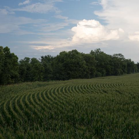Tennessee Cornfield