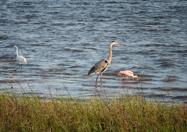Heron, Egret and Spoonbill