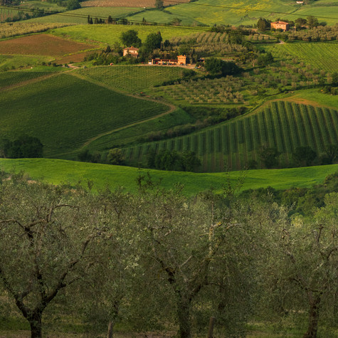 Vineyard and Olive Trees