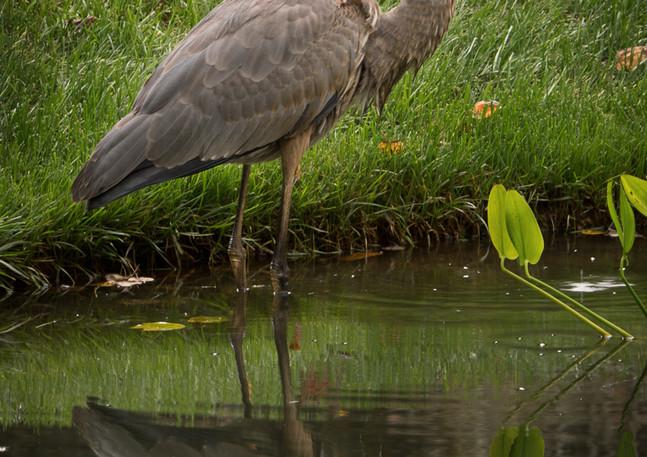 Blue Heron Catch