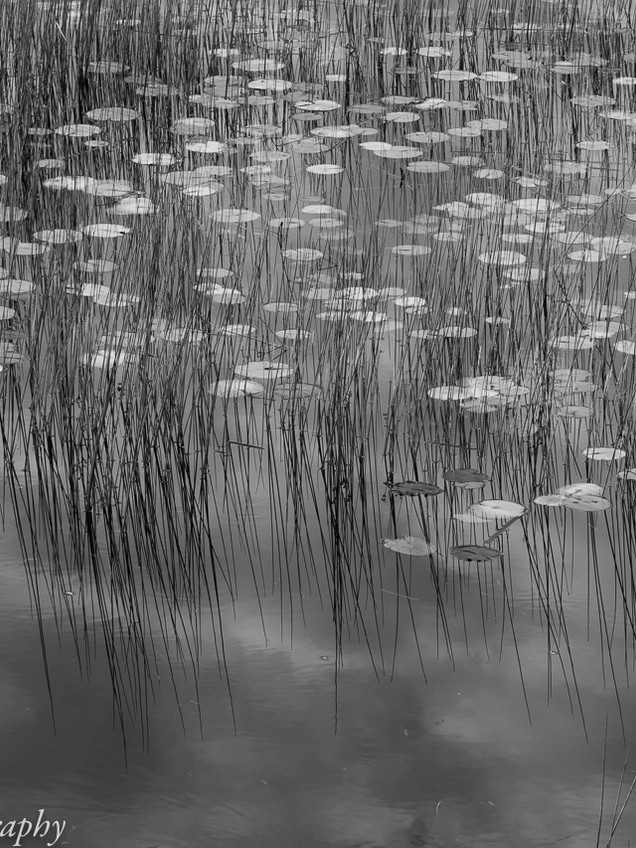 Waterlilies and Reeds
