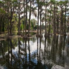 Banks Lake Cypress Trees