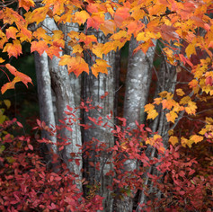 Maples and Blueberries