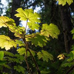 Large Leaf Maple