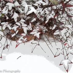 Nandias in Snow