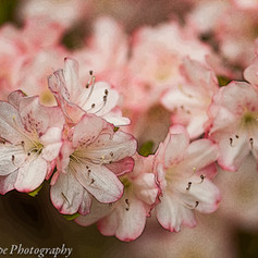Apple Blossom Azalea