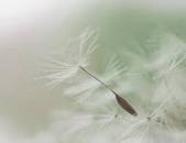 dandelion seeds4.png