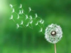 dandelion seeds1