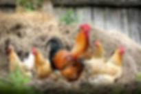 free chickens.jpg