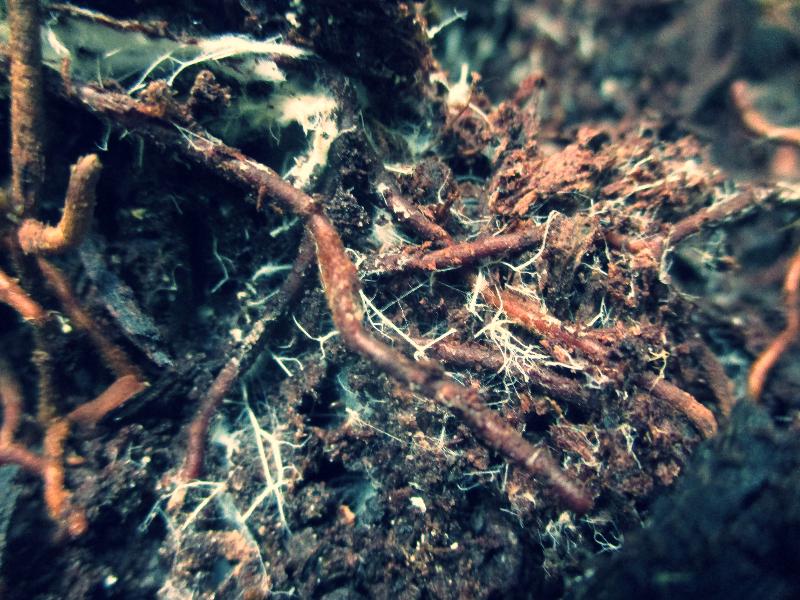 Mycorrhizae_edited.jpg