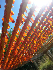 Drying candied Salmon in the Sun Old Massett  Summer 2015