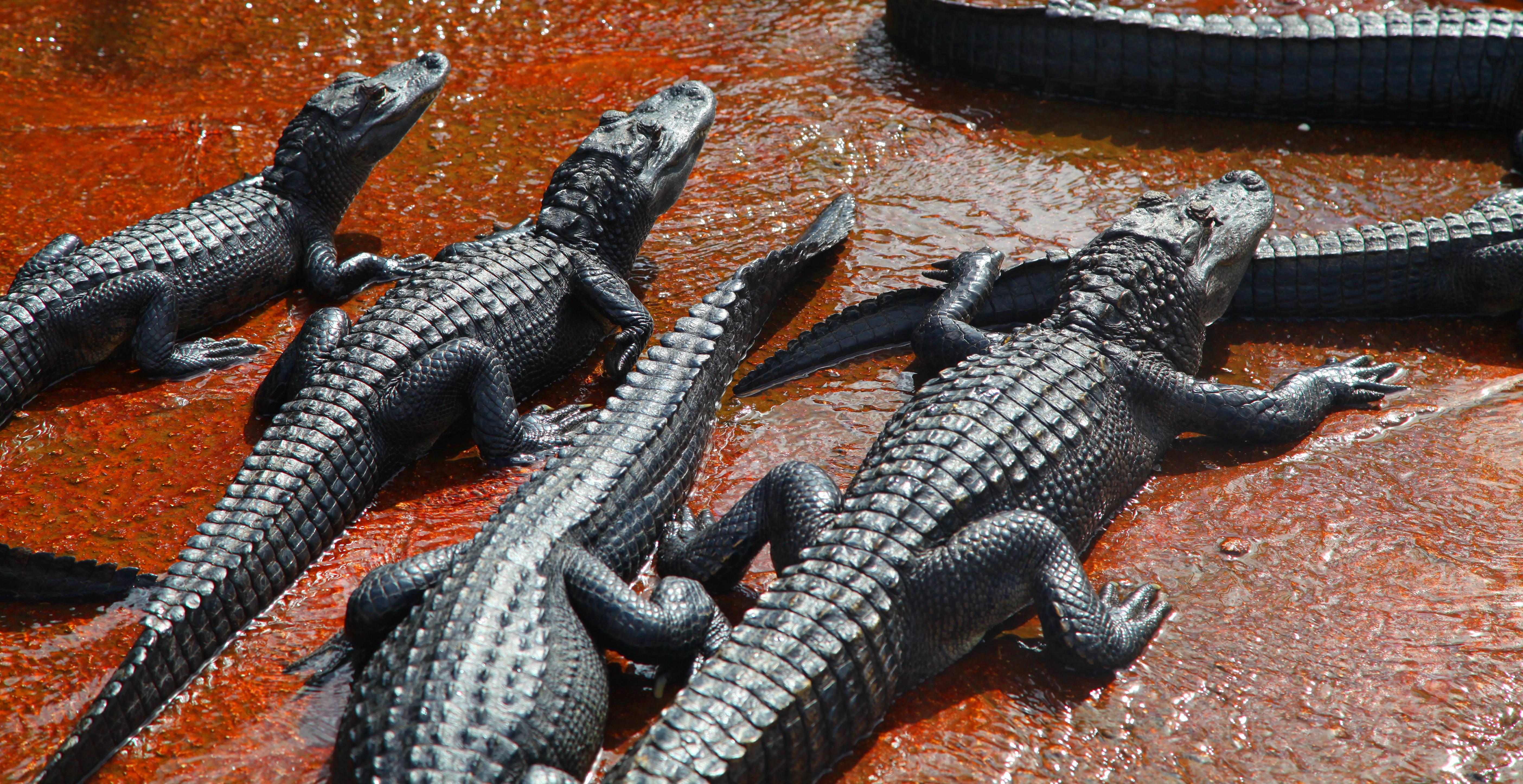 Alligator, Florida 2015