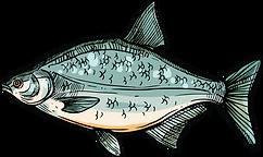 poisson ô fil de l'o eau douce