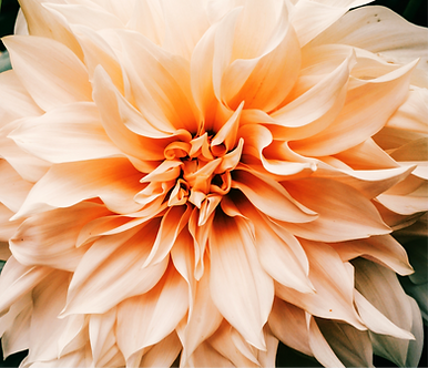 selective%2520focus%2520photography%2520of%2520peach%2520Dahlia%2520flower%2520in%2520bloom_edited_e