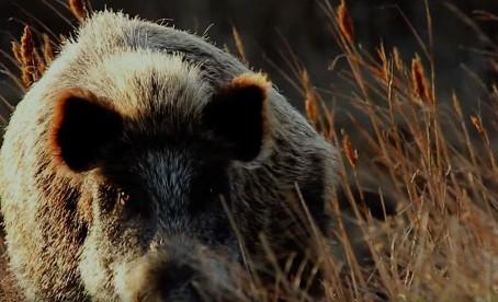 The War on Wild Pigs