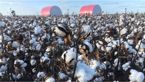 CSIRO scientists discover how to grow coloured cotton