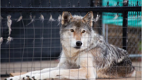 Release of wolves in Australian Alps a game changer for deer management