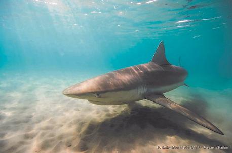 Grey shark in Hadera Stream.jpg