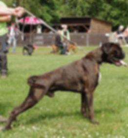 Boxer Hundeausstellung