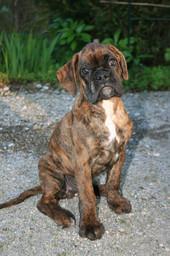 Boxer Junghund