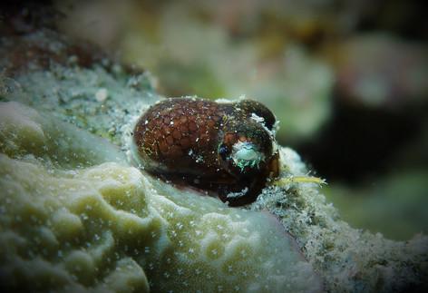Bobtail Squid at Pehe, Siau North Sulawesi