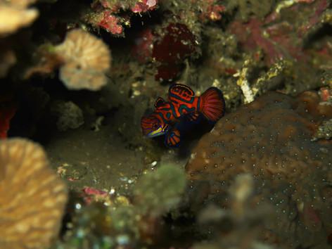 Mandarinfish at Tonsu, Siau North Sulawesi