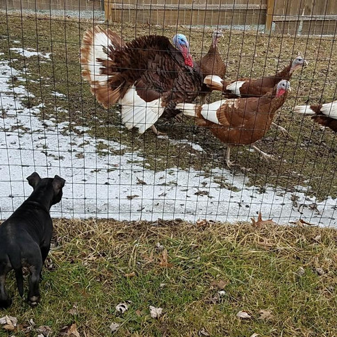 Shelby meeting the Turkeys