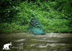 peacock.jpeg