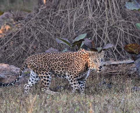 Pench Leopard
