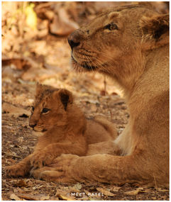 lion and mom