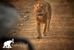 asiatic lion.jpeg