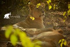 lioness capturing wild.jpeg