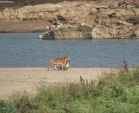 Pench Tiger Hunt