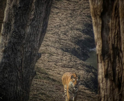 Pench Tiger