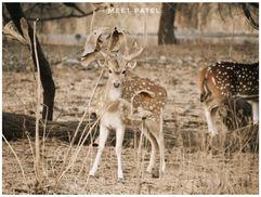 baby deer chital
