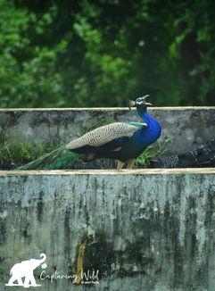 peacock shouting.jpeg