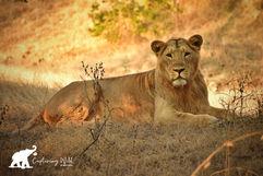 lion capturing wild.jpeg