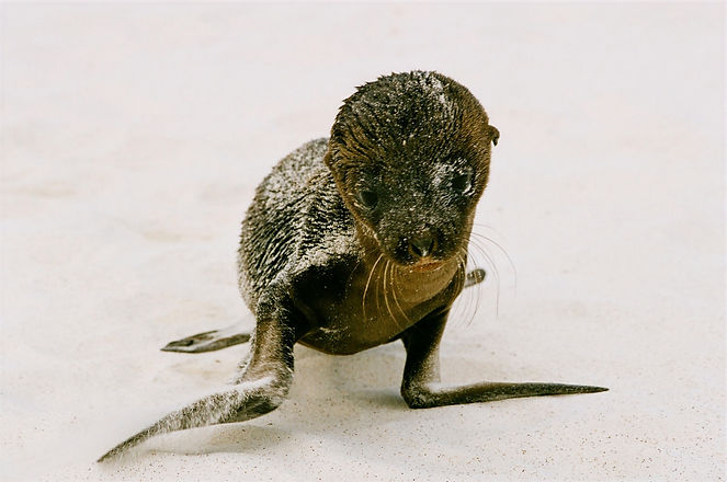 Baby%20seal%20on%20the%20beach%20in%20the%20Galapagos%20Islands._edited.jpg