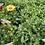 Thumbnail: OSTEOSPERMUM ASSORTED COLOURS POT SIZE 14CM