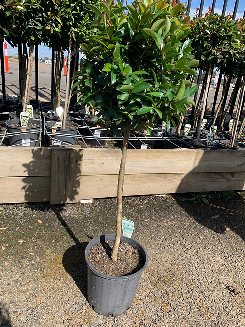 2.5 FOOT STANDARD LILLY PILLY SELECT FORM