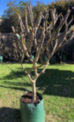Small white frangipani.jpg