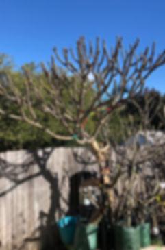 Frangipani tree1.jpg