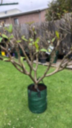 frangipani tree 12.jpg