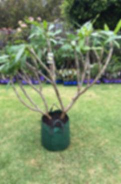 Plumeria tree for sale 4.jpg