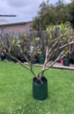 frangipani tree 26.jpg