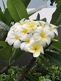 Singapore white frangipani.jpg